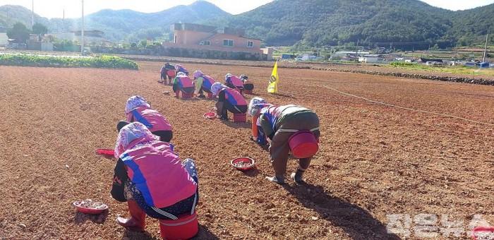 4-1. 여수시생활개선회, 가을 농번기 일손돕기 봉사활동 '구슬땀'.jpg