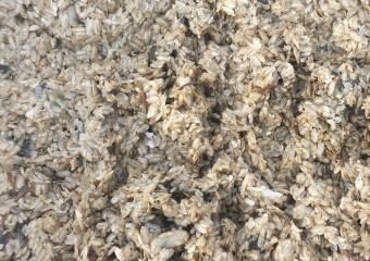 순천만 패류자원 조성을 위한 가리맛조개 치패 살포